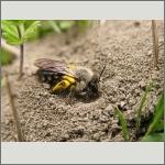 Bild 113 zum Bildarchiv Sonstige Insekten