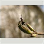 Bild 114 zum Bildarchiv Sonstige Insekten