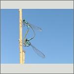 Bild 39 zum Bildarchiv Libellen