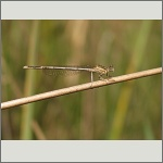 Bild 45 zum Bildarchiv Libellen