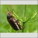 Bild 30 zum Bildarchiv Käfer