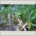 Bild 115 zum Bildarchiv Sonstige Insekten