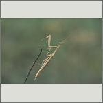 Bild 116 zum Bildarchiv Sonstige Insekten