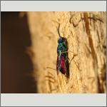 Bild 94 zum Bildarchiv Sonstige Insekten