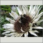 Bild 92 zum Bildarchiv Sonstige Insekten