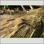 Bild 95 zum Bildarchiv Sonstige Insekten