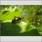 Bild 97 zum Bildarchiv Sonstige Insekten