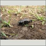 Bild 99 zum Bildarchiv Sonstige Insekten