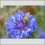 Bild 100 zum Bildarchiv Sonstige Insekten