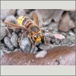 Bild 103 zum Bildarchiv Sonstige Insekten