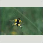 Bild 101 zum Bildarchiv Sonstige Insekten