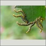 Bild 105 zum Bildarchiv Sonstige Insekten