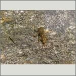 Bild 96 zum Bildarchiv Sonstige Insekten