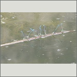Bild 31 zum Bildarchiv Libellen