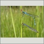Bild 32 zum Bildarchiv Libellen