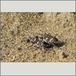 Bild 21 zum Bildarchiv Käfer