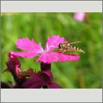 Bild 106 zum Bildarchiv Sonstige Insekten