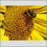 Bild 107 zum Bildarchiv Sonstige Insekten