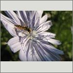 Bild 83 zum Bildarchiv Sonstige Insekten