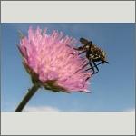 Bild 87 zum Bildarchiv Sonstige Insekten