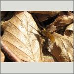 Bild 86 zum Bildarchiv Sonstige Insekten