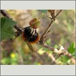 Bild 84 zum Bildarchiv Sonstige Insekten