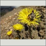 Bild 88 zum Bildarchiv Sonstige Insekten