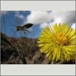 Bild 85 zum Bildarchiv Sonstige Insekten