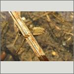 Bild 89 zum Bildarchiv Sonstige Insekten