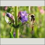 Bild 90 zum Bildarchiv Sonstige Insekten