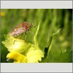 Bild 108 zum Bildarchiv Sonstige Insekten