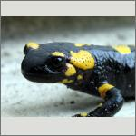 Bild 48 zum Bildarchiv Amphibien/Reptilien
