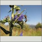 Bild 81 zum Bildarchiv Sonstige Insekten