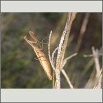 Bild 82 zum Bildarchiv Sonstige Insekten