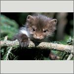 Bild 45 zum Bildarchiv Säugetiere