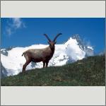 Bild 55 zum Bildarchiv Säugetiere