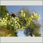 Bild 75 zum Bildarchiv Sonstige Insekten