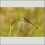 Bild 28 zum Bildarchiv Libellen