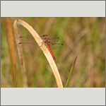 Bild 29 zum Bildarchiv Libellen