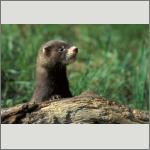 Bild 47 zum Bildarchiv Säugetiere