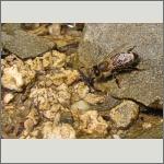 Bild 76 zum Bildarchiv Sonstige Insekten