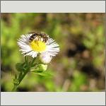 Bild 77 zum Bildarchiv Sonstige Insekten