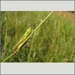 Bild 78 zum Bildarchiv Sonstige Insekten
