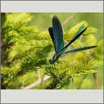Bild 33 zum Bildarchiv Libellen