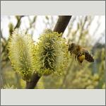 Bild 79 zum Bildarchiv Sonstige Insekten