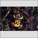 Bild 51 zum Bildarchiv Amphibien/Reptilien