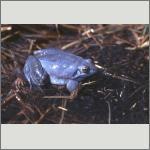 Bild 54 zum Bildarchiv Amphibien/Reptilien