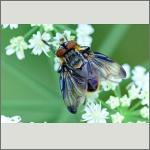 Bild 59 zum Bildarchiv Sonstige Insekten
