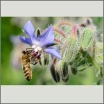 Bild 60 zum Bildarchiv Sonstige Insekten