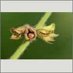 Bild 61 zum Bildarchiv Sonstige Insekten